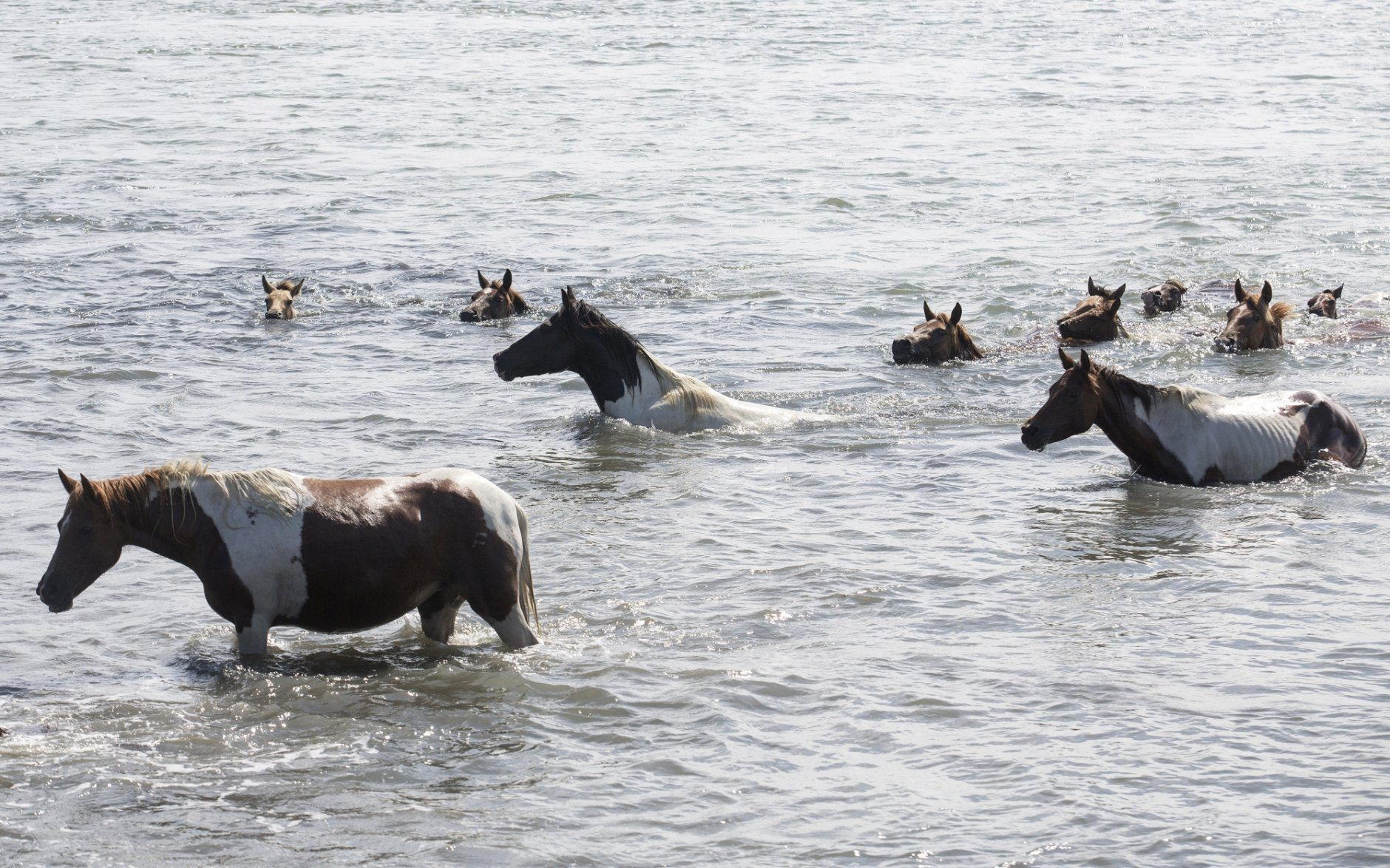Crowds Cheer Ponies Swimming To