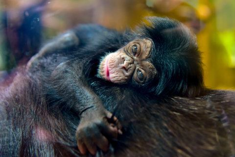 New baby chimp at the Maryland Zoo needs a name
