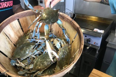 How to tell the difference between Maryland blue crabmeat, cheap imports