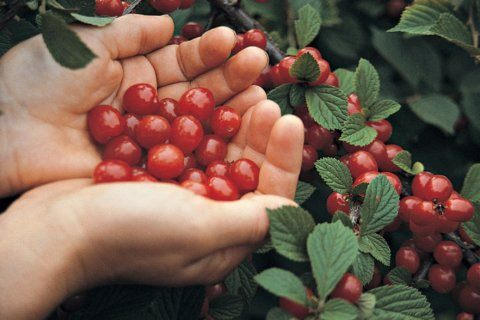 There are many types of sweet or tart cherries you can grow
