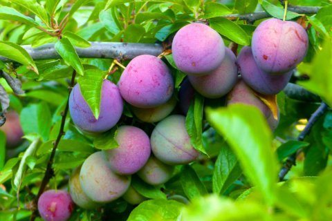 When is fruit ready to pick? Nature offers different clues