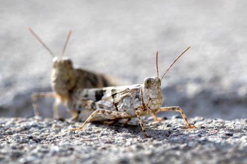 Grasshoppers on the go make migratory stop in Las Vegas area
