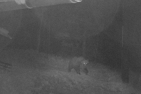 Fans in Italy root for clever brown bear to elude captivity