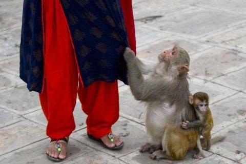 AP Photos: Nepal woman spends her day feeding temple monkeys