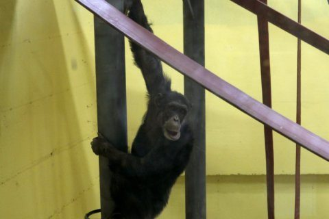 Skopje zoo's chimp returns after recovering from depression
