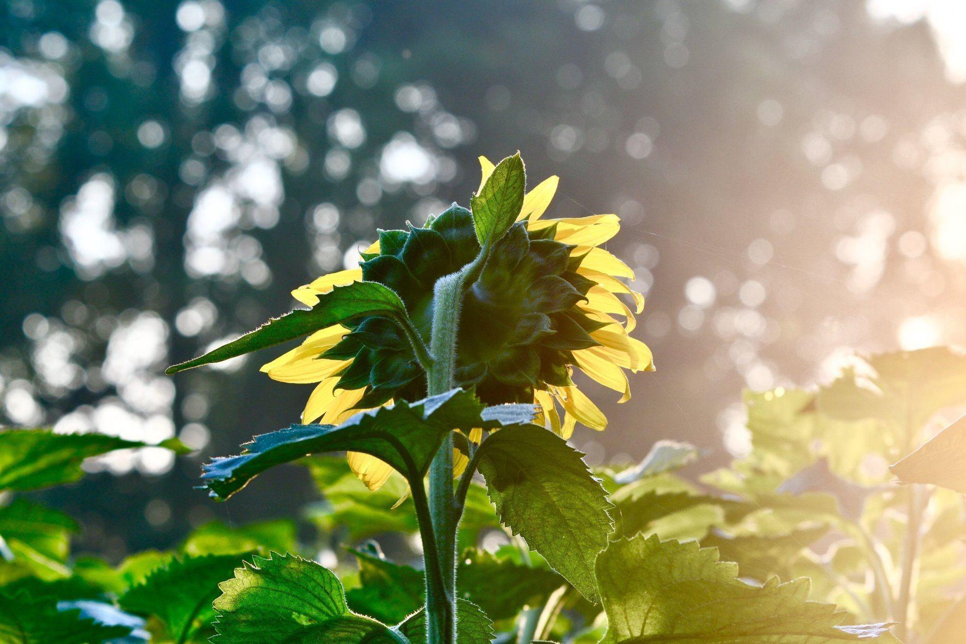 A sunflower in field