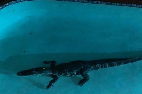 7-foot alligator makes itself at home in a Florida family's pool