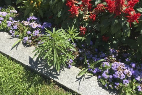 A Capitol offense? Cannabis found in Statehouse flower beds