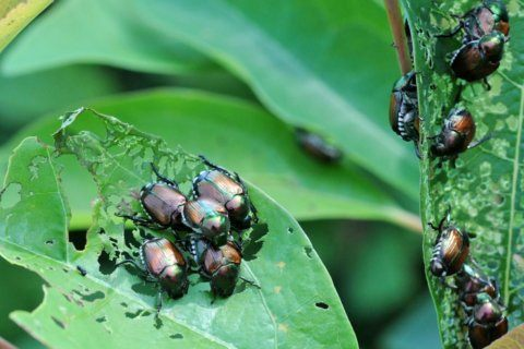 Blame it on the rain: Why DC area is experiencing a beetle invasion