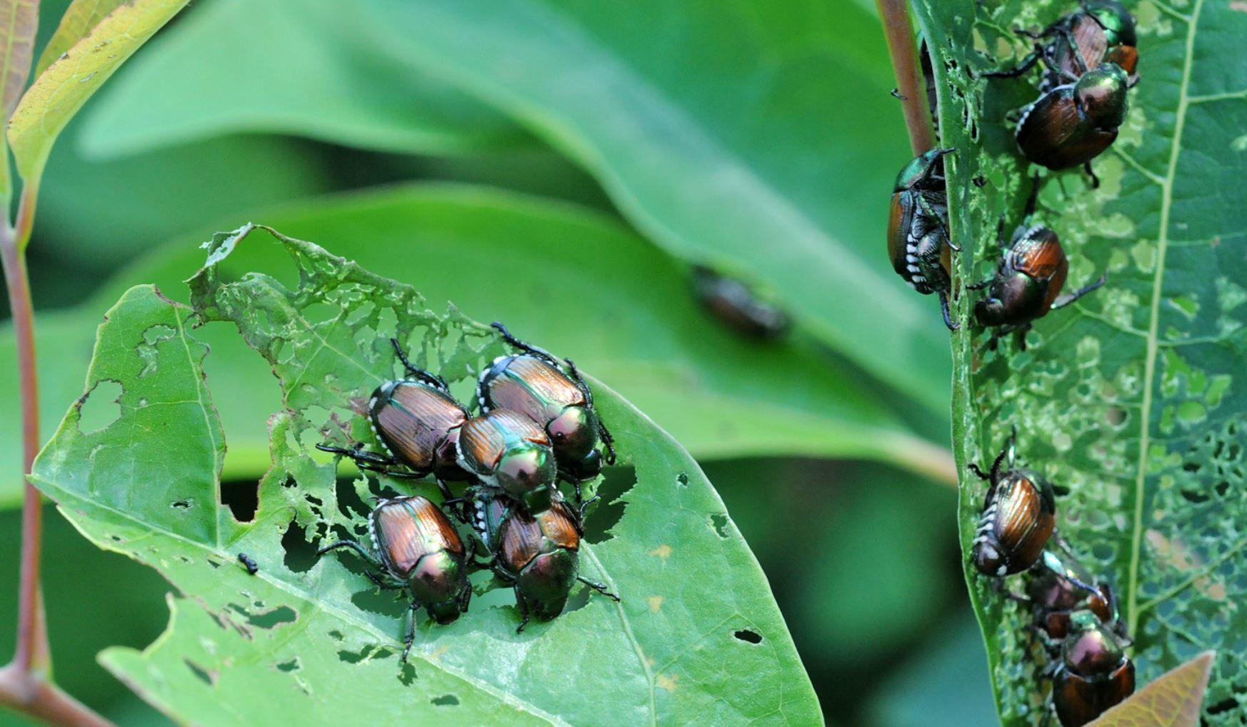 japanese beetles on a leaf