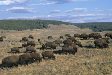 Bison charges and injures girl in Yellowstone
