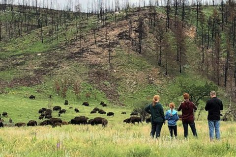Bison attacks: How to stay safe from wildlife when visiting national parks