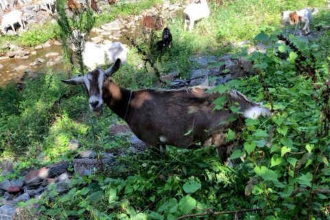 WATCH: Hired weed-eating goats 'gnaw-t' bothered by Leesburg heat