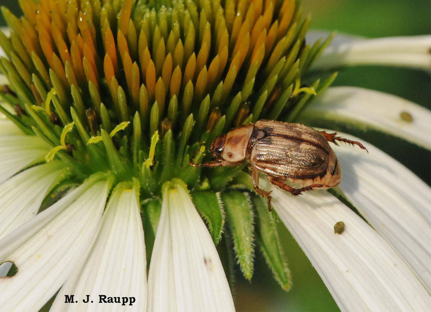 coneflower with an Oriental beetle