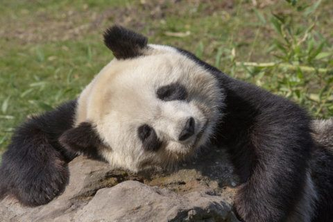 How giant pandas at National Zoo cope with extreme heat