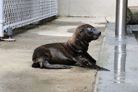 National Zoo welcomes new sea lion pup