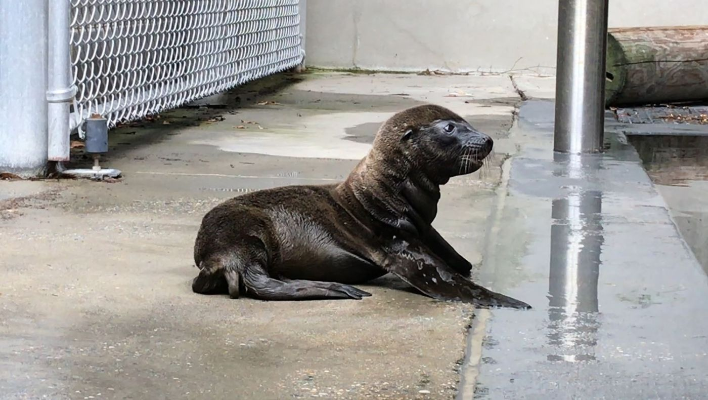 A California sea lion pup at the National Zoo