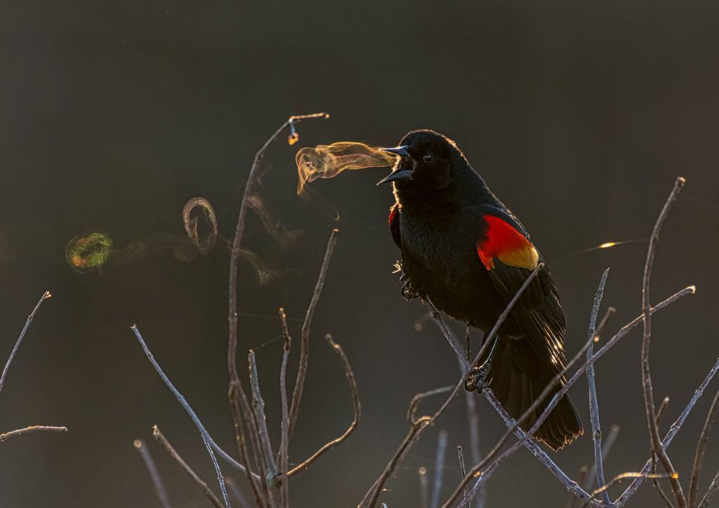 A red-winged blacbird at an Alexandria, Virginia Park