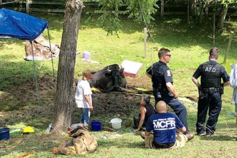 Holy cow: 2,000 lb. steer rescued from mud in Montgomery Co.