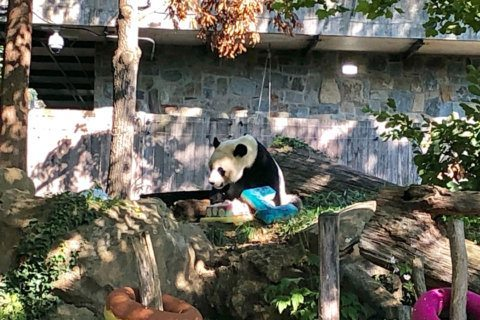 'Bittersweet' birthday for Bei Bei the giant panda
