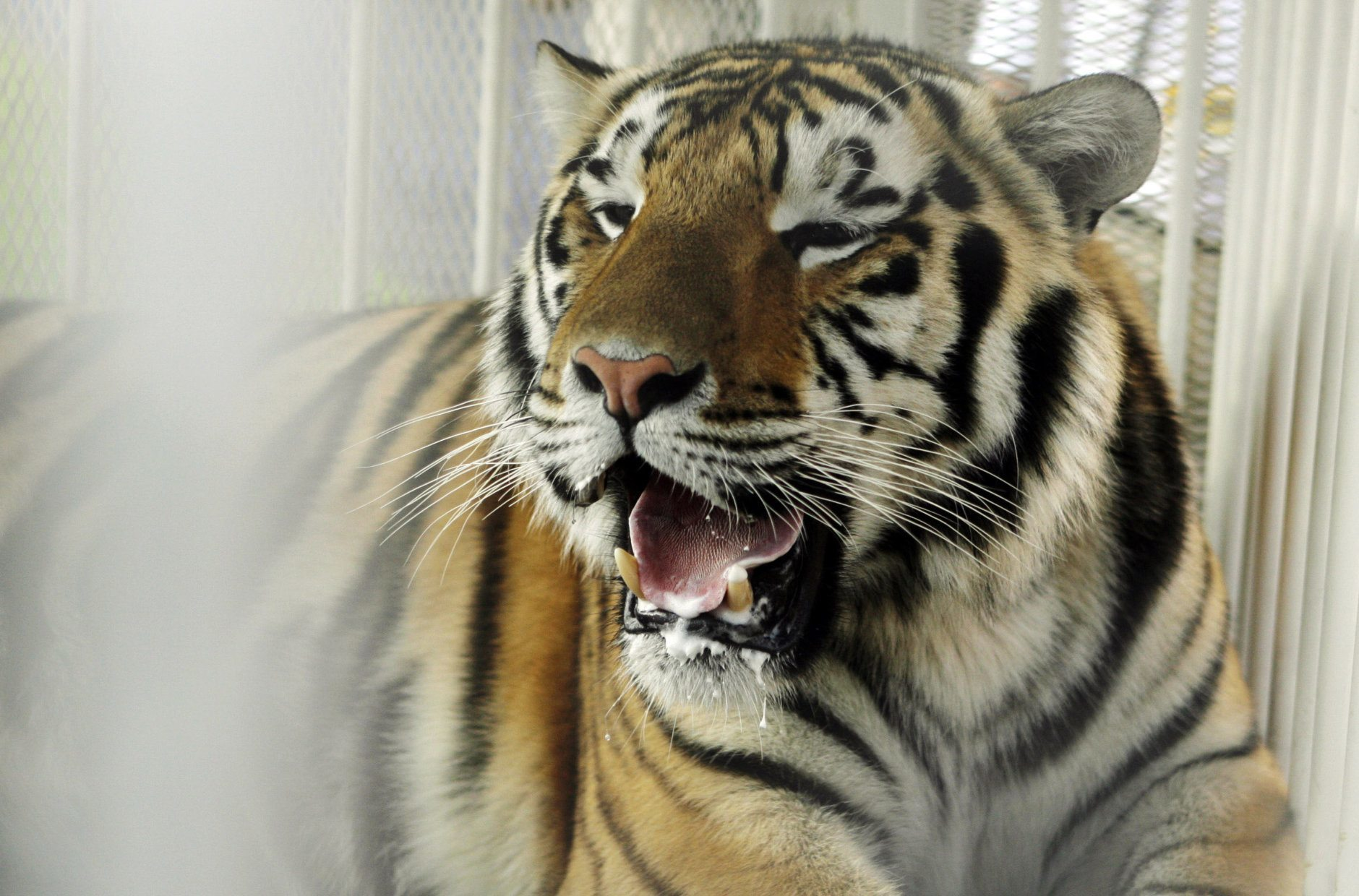 <p>3. Mike the Tiger, Louisiana State University</p>