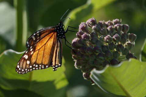 Monarch symbol of species in crisis as US protections shrink