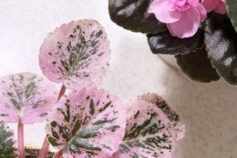 This undated photo, provided by Ana Carlson of Sill Appeal, shows a variegated African violet with pink leaves in Santa Monica, Calif. Pink plants are popular right on social media now. (Sill Appeal via AP)