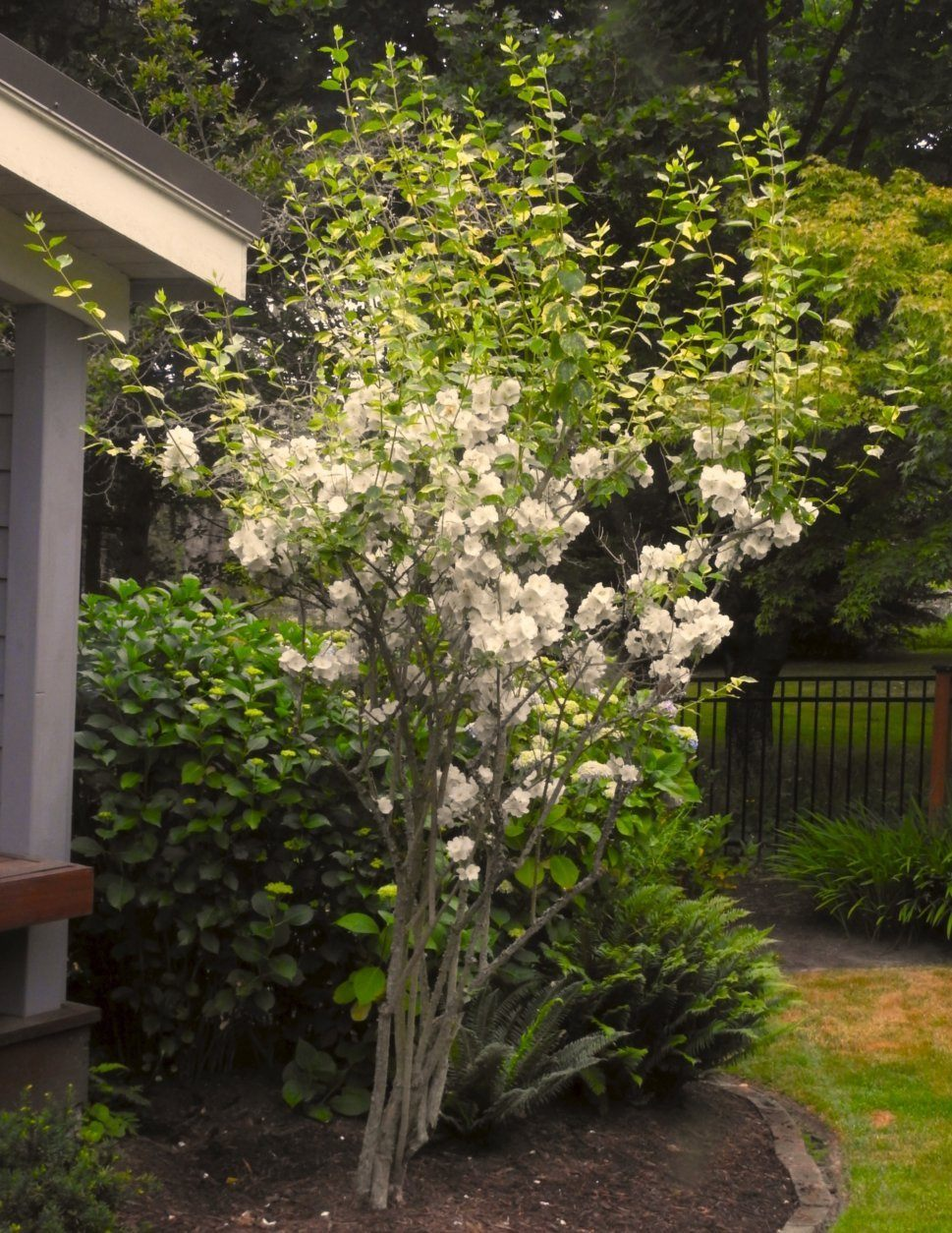 This June 23, 2019 photo taken in a yard near Langley, Wash., shows the results of an improperly timed pruning job. Deciduous trees and shrubs should be pruned in the spring, before they leaf. It would have reduced the height of this shrub and eliminated the new growth that's without any blooms. (Dean Fosdick via AP)