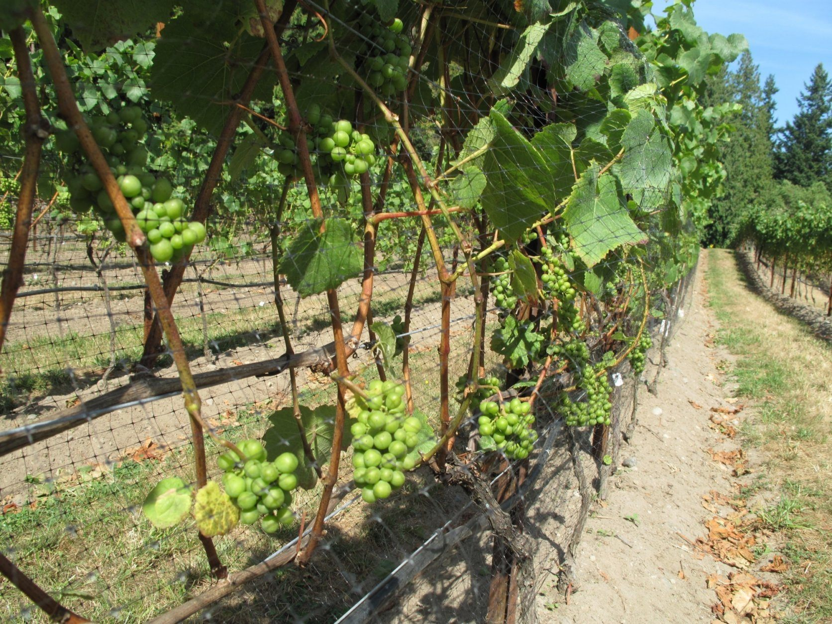 This Sept. 15, 2012 photo taken in a vineyard near Clinton, Wash., shows wine grapes maturing after their leaf canopy was stripped and netted, the latter to prevent the fruit from being eaten by birds. Grapevines should be pruned back each year during their dormant period, usually in February through March. (Dean Fosdick via AP)