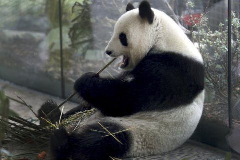 High hopes that Berlin zoo's panda is expecting