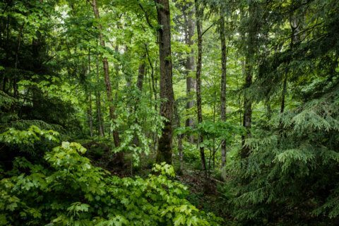 Invasive emerald ash borer found in Virginia county