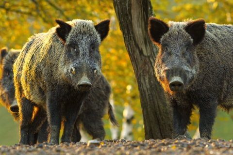 How '30-50 feral hogs' took center stage in a fractured America's gun debate