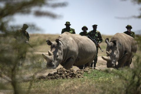 Extracted eggs may stop extinction of northern white rhino