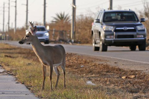 Government suggests taking Key deer off endangered list
