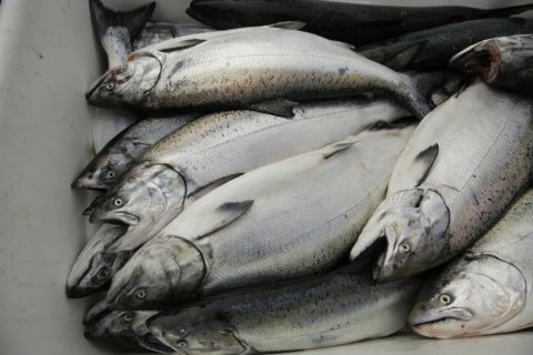 California sails toward biggest salmon harvest in years