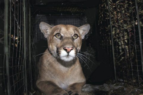 First tracked mountain lion crosses Los Angeles freeway