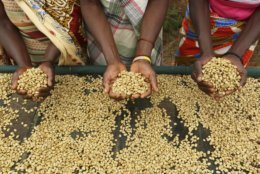 Women sort coffee beans at a coffee plantation in Mount Gorongosa, Mozambique Sunday, Aug. 3, 2019. On the slopes of Mount Gorongosa, more than 100 farmers are producing coffee that earns them incomes while at the same time restores the rapidly eroding rainforest. With peace on the mountaintop there are plans to dramatically scale up coffee production, as part of Gorongosa National Park's innovative plan to boost the incomes of people living around the park as well as revitalizing the environment. (AP Photo/Tsvangirayi Mukwazhi)