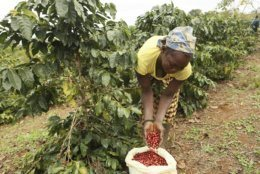 A woman harvests coffee beans at a coffee plantation in Mount Gorongosa, Mozambique, Sunday, Aug. 3, 2019. On the slopes of Mount Gorongosa, more than 100 farmers are producing coffee that earns them incomes while at the same time restores the rapidly eroding rainforest. The Gorongosa coffee project is ramping up it's productions, spurred on by a peace accord signed August 1, 2019 between Mozambques government and rebels. (AP Photo/Tsvangirayi Mukwazhi)