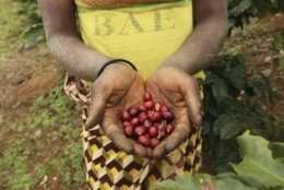 A woman holds coffee beans at a coffee plantation in Mount Gorongosa, Mozambique Sunday, Aug. 3, 2019. On the slopes of Mount Gorongosa, more than 100 farmers are producing coffee that earns them incomes while at the same time restores the rapidly eroding rainforest. With peace on the mountaintop there are plans to dramatically scale up coffee production, as part of Gorongosa National Park's innovative plan to boost the incomes of people living around the park as well as revitalizing the environment. (AP Photo/Tsvangirayi Mukwazhi)