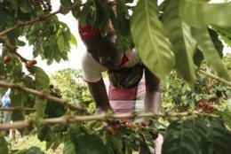 A woman picks coffee beans at a coffee plantation in Mount Gorongosa, Mozambique, Sunday Aug. 3, 2019. On the slopes of Mount Gorongosa, more than 100 farmers are producing coffee that earns them incomes while at the same time restores the rapidly eroding rainforest. With peace on the mountaintop there are plans to dramatically scale up coffee production, as part of Gorongosa National Park's innovative plan to boost the incomes of people living around the park as well as revitalizing the environment. (AP Photo/Tsvangirayi Mukwazhi)