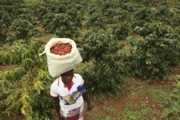 A woman carries harvested coffee beans on her head at a coffee plantation in Mount Gorongosa, Mozambique Sunday, Aug. 3, 2019. On the slopes of Mount Gorongosa, more than 100 farmers are producing coffee that earns them incomes while at the same time restores the rapidly eroding rainforest. With peace on the mountaintop there are plans to dramatically scale up coffee production, as part of Gorongosa National Park's innovative plan to boost the incomes of people living around the park as well as revitalizing the environment. (AP Photo/Tsvangirayi Mukwazhi)