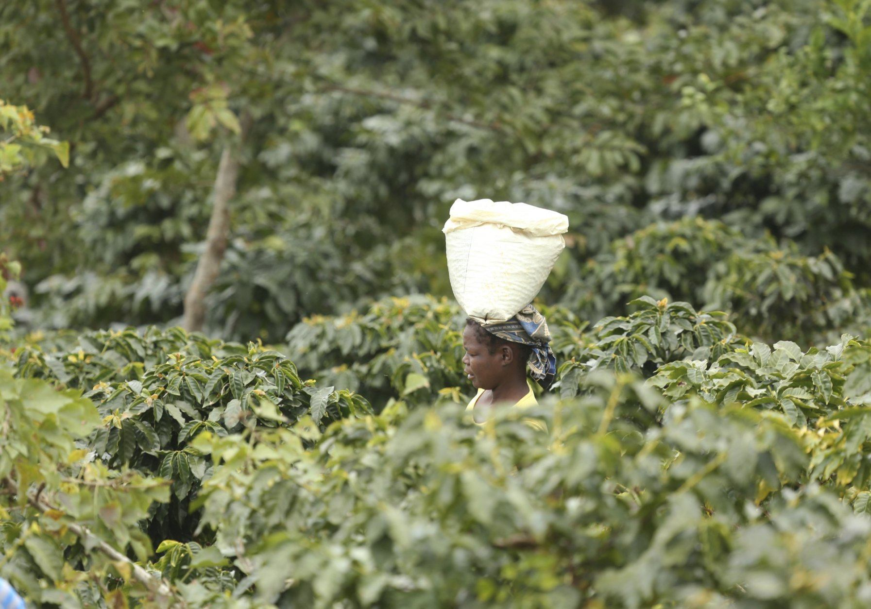 A woman carries harvested coffee beans in a coffee plantation in Mount Gorongosa, Mozambique in this Sunday, Aug. 3, 2019 photo. On the slopes of Mount Gorongosa, more than 100 farmers are producing coffee that earns them incomes while at the same time restores the rapidly eroding rainforest. With peace on the mountaintop there are plans to dramatically scale up coffee production, as part of Gorongosa National Park's innovative plan to boost the incomes of people living around the park as well as revitalizing the environment. (AP Photo/Tsvangirayi Mukwazhi)