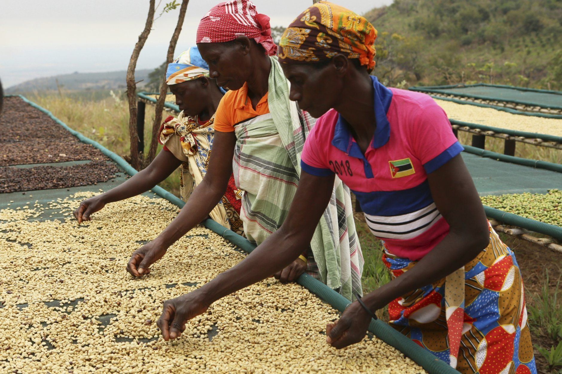 Women sort coffee beans at a coffee plantation in Mount Gorongosa, Mozambique, Sunday Aug. 3, 2019. On the slopes of Mount Gorongosa, more than 100 farmers are producing coffee that earns them incomes while at the same time restores the rapidly eroding rainforest. With peace on the mountaintop there are plans to dramatically scale up coffee production, as part of Gorongosa National Park's innovative plan to boost the incomes of people living around the park as well as revitalizing the environment. (AP Photo/Tsvangirayi Mukwazhi)