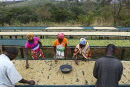 Women and men sorts through harvested coffee beans at a coffee plantation in Mount Gorongosa, Mozambique, Sunday Aug. 3, 2019. On the slopes of Mount Gorongosa, more than 100 farmers are producing coffee that earns them incomes while at the same time restores the rapidly eroding rainforest. With peace on the mountaintop there are plans to dramatically scale up coffee production, as part of Gorongosa National Park's innovative plan to boost the incomes of people living around the park as well as revitalizing the environment. (AP Photo/Tsvangirayi Mukwazhi)