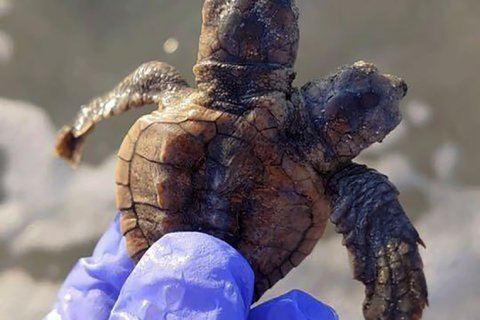 S Carolina turtle patrol group finds two-headed hatchling