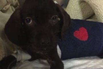 Puppy undergoes life-saving open heart surgery