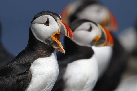 Puffins fill up nesting islands this year despite challenges