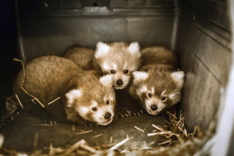 A 'unique situation': Red panda triplets born in Va.