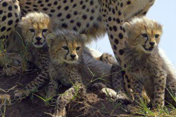 WATCH: Nanny dog nurses cheetah cub