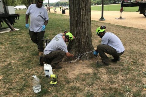 New approach to caring for trees on National Mall